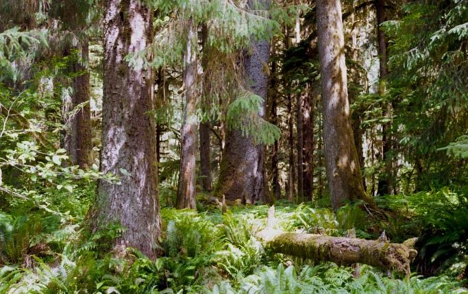 Hoh Rain Forest #35mm